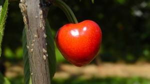 cherry-178149_1920
